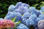 青いアジサイ2.jpg