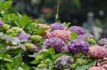 桃と紫アジサイ.jpg